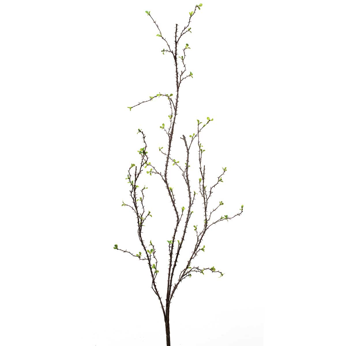 WILD BRAMBLE BUTTON LEAF THORN BUSH 36""