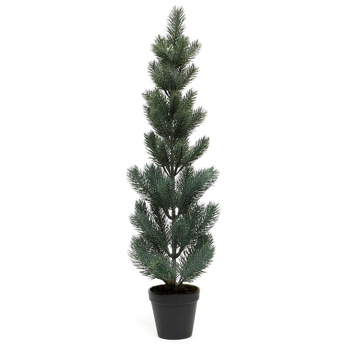 BLUE SPRUCE PINE TREE IN BLACK